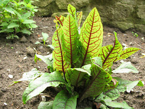 Garten-Pflanzen-Samen-winterhart-Ziergras-Zierpflanze-Saatgut-Kraeuter-BLUTAMPFER