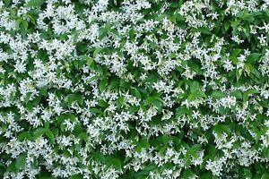 Pianta di rhyncospermum falso gelsomino bianco rampicante for Gelsomino potatura