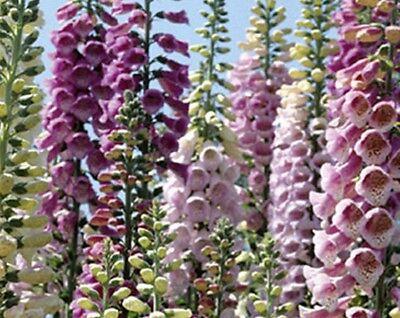 Fingerhut bunte Mischung 10000+ Samen Digitalis purpurea Mix