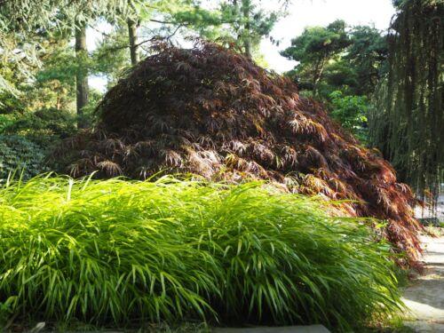 Hakonechloa macra Aureola Goldbuntes Japanisches Berggras im 1 Liter Container