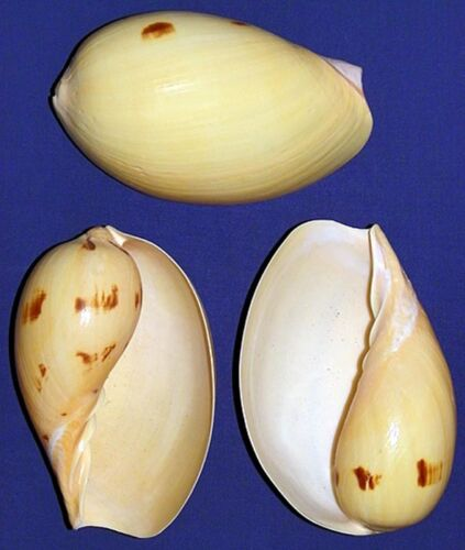 "India Melon Melo Volute Shell ~5/""~Craft Seashell Supply Select 1//2//3 Pcs."
