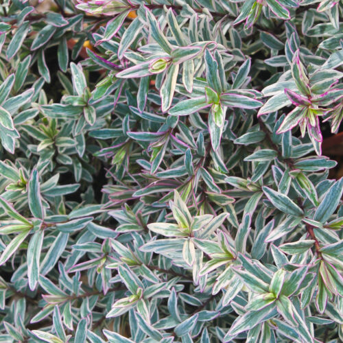 Hebe Silver Anniversary - Shrubby Veronica | Evergreen Potted Garden Shrub