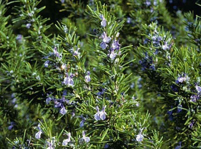 ROSEMARY HERB SEEDS * 25 PER PKT. * CONTAINER OR GARDEN LOCATIONS * CUISINE FAV