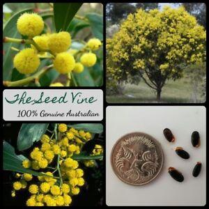 30 Golden Wattle Seeds Acacia Pycnantha Native Australian Fast