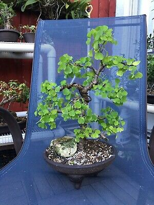 Florida Aspen Bonsai Ebay