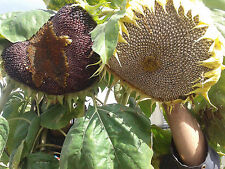 RARE PURPLE sunflower seeds( 5 purple seeds) Russian Giant yellow flowers 10'