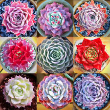 400pcs Mixed Home Plant Seeds Succulents Living Stones Plants Cactus Succulent
