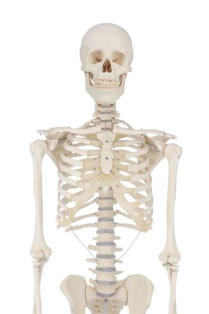Skelett bewegliche Wirbelsäule anatomisches MODELL | eBay