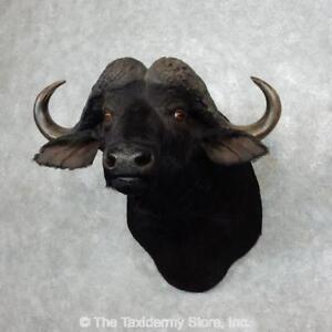 Buffalo For Sale >> Details About 17982 P African Cape Buffalo Taxidermy Shoulder Mount For Sale