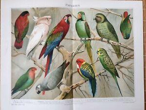 Papageien-Chromolithographie-1895-alte-historische-Grafik