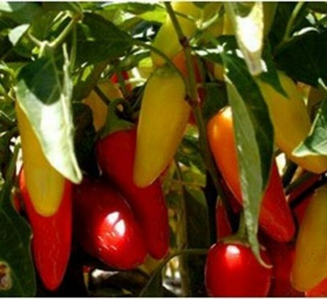 VEGETABLE  HOT CHILLI PEPPER NUMEX PINATA  30 FINEST SEEDS