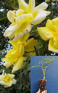 Rosa lawrence johnston fiori grandi semi doppi profumati - Fiori gialli profumati ...