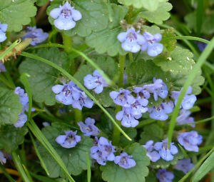 GROUND-IVY-Glechoma-Hederacea-500-Bulk-Seeds