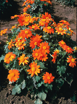 Tithonia Fiesta Del Sol - Mexican Sunflower - 25 seeds - Perennials