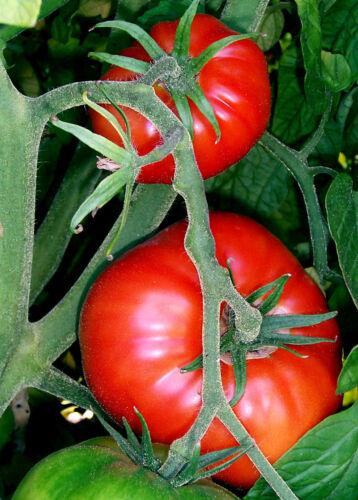 """Tomate variété bifteck 200 exotique graines /""""seulement 9 euros/"""""""