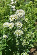 500 Semillas de Oregano Griego (Origanum vulgare subsp. hirtum) seeds