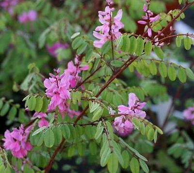 Indigofera himalayensis 'Silk Road' - Indigo Shrub in 9cm Pot