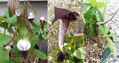 2Pcs Cobra Lily Arisaema Sikokianum Flowering Plant Bulbs Garden Kiushianum Seed