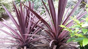 Purple-Cabbage-Tree-Australis-purpurea-30-Seeds