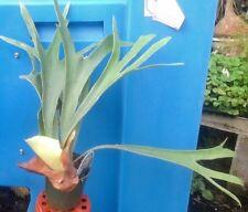 """French Staghorn Fern - Platycerium veitchii 'Lemoinei' - 4"""" Pot"""