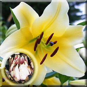 9 Lily Bulb Oriental Yellow Conca D Or Lily Large Live Plant