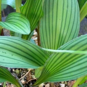 Rare-new-Drimiopsis-bulb-Spectactular-striped-leaves