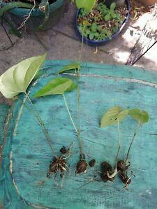 15 sprouting seedlings Chinese Japanese Air Potato Dioscorea polystachya Edible