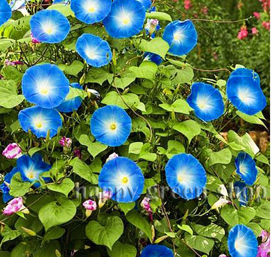 Morning Glory Heavenly Blue Ipomoea 85 Seeds