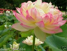 Rare PHILLIPINE GOLD LOTUS Seeds - yellow petals tipped with pink - 10 seeds