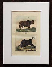 Impresión de color mano montado Buffon Antiguo c.1800 - grabado-Buffalo-Bison