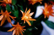 Tiger Orange Easter Cactus Cutting, Christmas Rhipsalidopsis Schlumbergera Plant