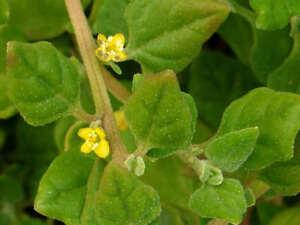 Warrigal-Greens-NZ-Spinach-50-Seeds-Edible-amp-Good-Groundcover-Salt-Tolerant-Bush