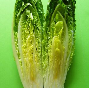 600 Seeds ..tall and crunchy ROMAINE hearts LOBJOITS GREEN COS LETTUCE