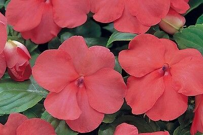 50 Impatiens Seeds Impatiens Impreza Red And White