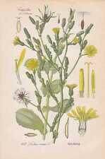 Lactuca virosa Gift-Lattich THOME Lithographie von 1886 Botanik