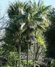 Howea forsteriana Paradise Palm 5 Fresh Seeds