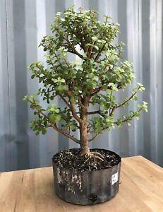 Large Jade Pre Bonsai Tree By The Bonsai Supply Ebay