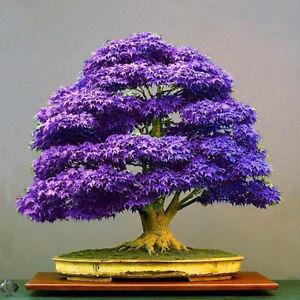 Lila Ahorn Bonsai Baum Samen Japanischer Ahorn Pflanze Mini Baum