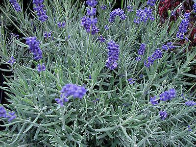 LAVANDULA ANGUSTIFOLIA Alveole Lavendel Englisch 1 Pflanze English lavender