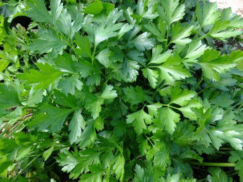 20.000 Petroselinum crispum  neapolitanum Samen Glatte italiensche Petersilie
