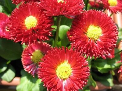 100 RED ENGLISH DAISY Bellis Perennis Flower Seeds + Gift & Comb S/H