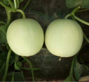 10-pcs-High-sugar-white-skin-orange-flesh-melon-vegetables-Seeds
