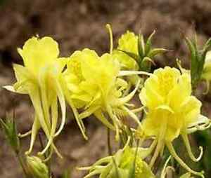 25 columbine aquilegia sunshine bright yellow flower seeds image is loading 25 columbine aquilegia sunshine bright yellow flower seeds mightylinksfo