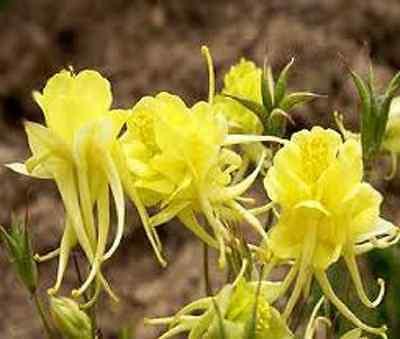 25+ COLUMBINE AQUILEGIA SUNSHINE BRIGHT YELLOW FLOWER SEEDS / PERENNIAL