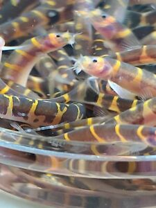 "6+2 Kuhli Loach MD (Pangio kuhlii) Live Freshwater Fish ""Striped Coolie Loach"""