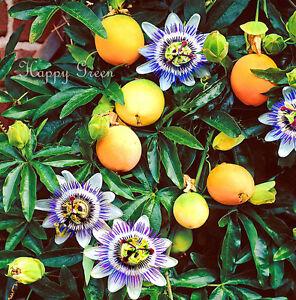 PASSION-FLOWER-40-SEEDS-Passiflora-caerulea-CLIMBING-PERENNIAL