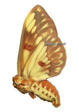 Unmounted Butterfly/Saturniidae - Citheronia brissotii meridionalis, Argentina F