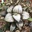 Haworthia-Succulent-plants-potted-Plants-Home-Garden-Bonsai-Garden-Decor thumbnail 3