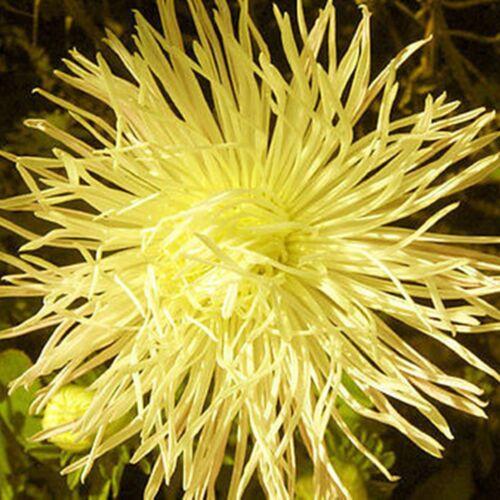 Callistephus chinensis Flower Seeds Needle Aster Electra