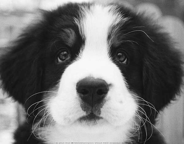Ben by Kim Levin Art Print Black and White Puppy Face Dog Poster 11x14